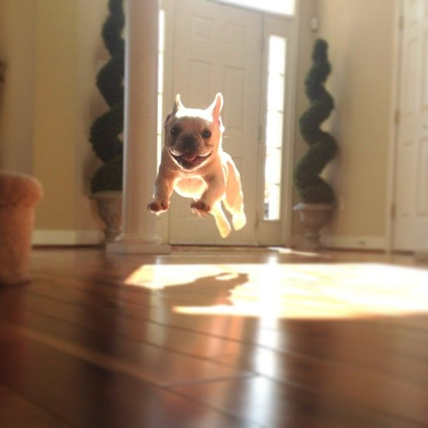 French bulldog airborne @Maria Canavello Mrasek Canavello Mrasek Canavello Mrasek Henderson Gatzow: Animals, French Bulldogs, Frenchbulldog, Funny, Puppy, French Bulldog Puppies