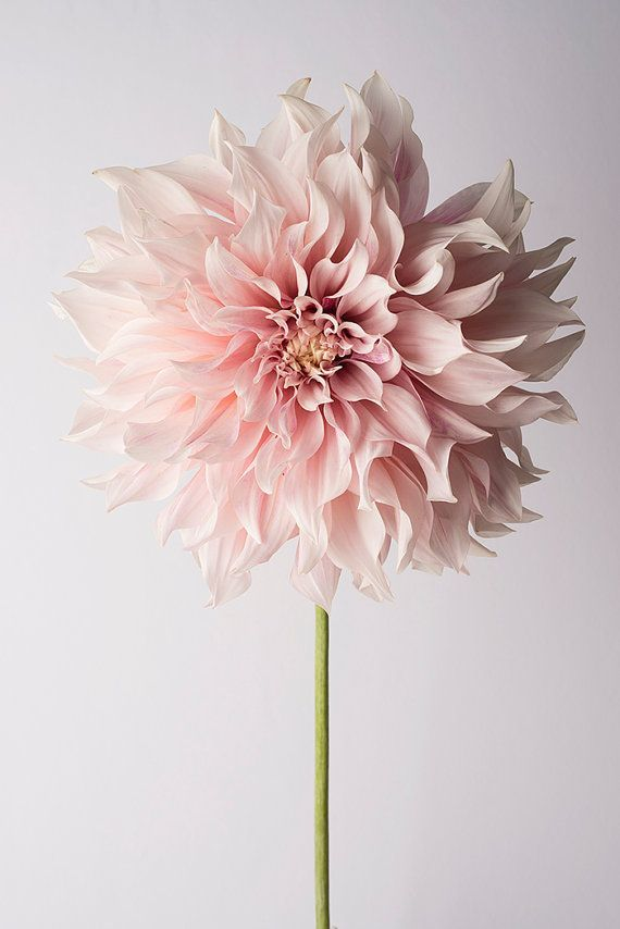 From Lilies to Dandies, Iris to Tulips, do you just sometimes you just wonder what type of flower are you?: Beautiful Flower, Pink Flower, Dahlias, Bloom, Flowers, Garden, Pretty Flower, Floral