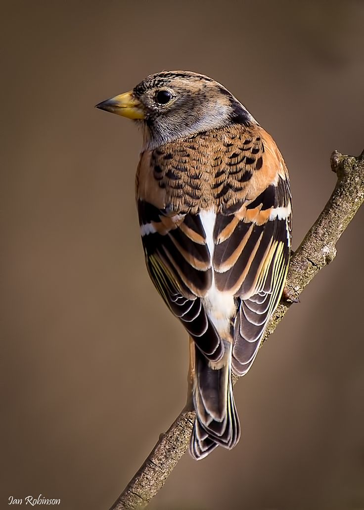 he Brambling (Fringilla montifringilla) is a small passerine bird in the finch family Fringillidae. This bird is widespread throughout the forests of northern Europe and Asia. It is migratory, wintering in southern Europe, north Africa, north India, north