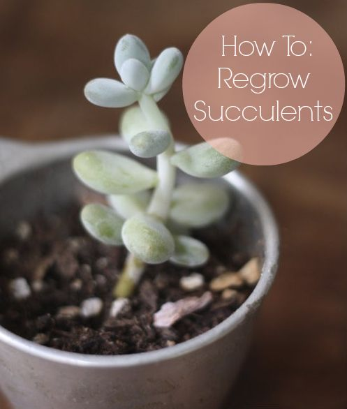 How to: Grow & Propagate Succulents: Propagate Succulents, Succulents Plants, Propagating Succulent, Succulent Plants, Regrow Succulents, Outdoor, Regrowing Succulents, Succulents Regrow