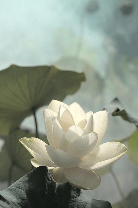 JoyBx | Welcome to SaiFou – Inspiring images: White Lotus, White Flower, Lotus Flowers, Beautiful Flowers, Bahman Farzad, Garden, Pretty Flower, Water Lilies, Flower