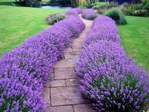 Lavender Hidcote - This easy-to-grow sun perennial thrives in full sun  normal garden soil. Plants vigorously grow to form mounds of fragrant, silvery foliage 18 tall  24 wide. This drought-tolerant  hardy perennial has extremely fragrant foliage.: Full S