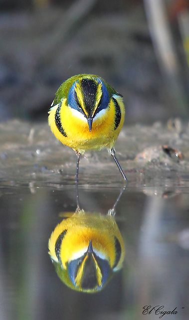 Many-colored Rush Tyrant is a small bird found in South America belonging to the Tyrant Flycatcher family.: Reyes Arellano, Reflection, Beautiful Birds, Photo, Animal
