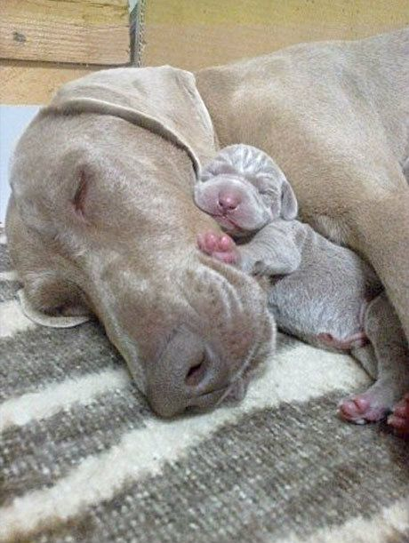 nothing like cuddles with Mama: Weimaraner, Animals, Dogs, Sweet, Mother, Pet, Puppy, Baby, Mom