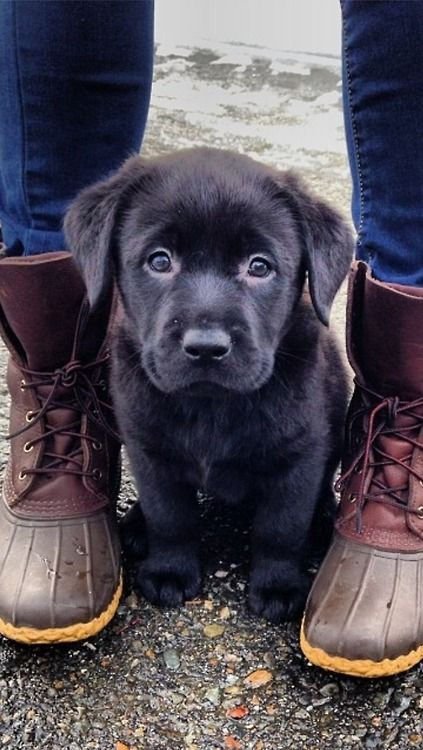 seriously cannot wait to get a little guy like this: Animals, Dogs, Puppys, Lab Puppies, Box, Labrador, Bean Boot, Black Labs