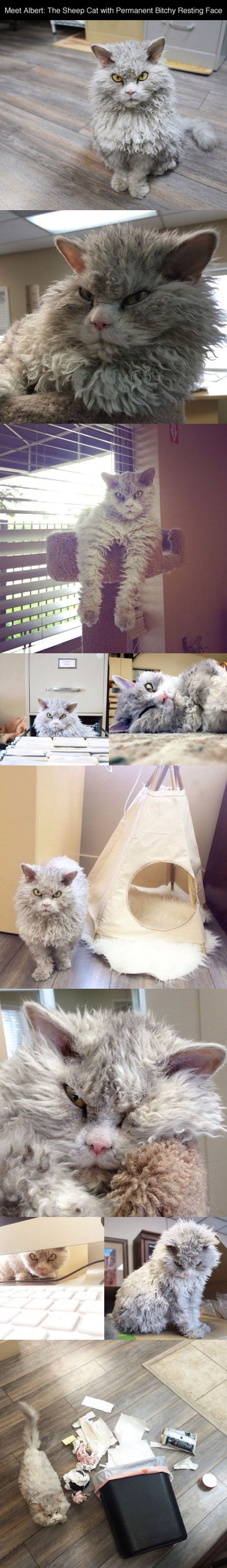 So freaking cute!: Cats, Funny, Crazy Cat, Bitchy Resting Face, Grumpy Cat, Kitty, Animal, Cat Lady