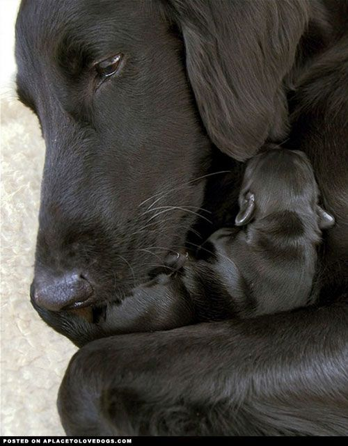 Sweet Black Labrador Retriever mommy cuddling with her new puppy. (LOL.......wondering if I've already pinned this in the past. LOL.........probably only twelve times........will have to check) (Sorry followers if I have.........but how can you NOT wa