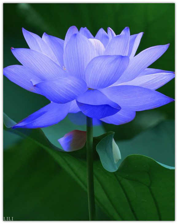 The blue Lotus flower is associated with victory of the spirit in Buddhism. In Egyptian culture, it symbolizes rebirth.: Lotus Flowers, Pretty Flowers, Beautiful Flowers, Water Lily, Beautiful Tattoo, Garden, Blue Lotus, Flower
