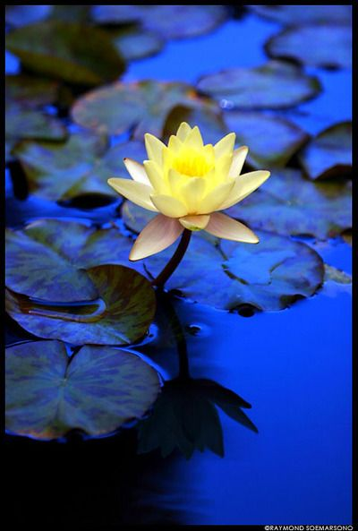 The #Mindful Self-Express Blog  | #Psychology Today http://www.psychologytoday.com/blog/the-mindful-self-express: Lotus Flowers, Color, Blue Yellow, Water Lily, Garden, Water Lilies, Yellow Flower