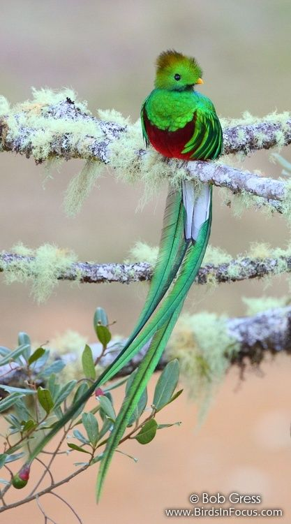 The Resplendent Quetzal. I was fortunate enough to spot one of these when I visited Costa Rica. Breathtaking!: Resplendant Quetzal, Nature, Agave, Quetzal Bird, Creatures, Cloud, Beautiful Birds, Animals Birds
