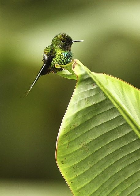 The smallest hummingbird, Bee Hummingbird or Zunzuncito (Mellisuga helenae), is a species of hummingbird that is endemic to Cuba and Isla de la Juventud. Wikipedia says it grows to 5-6 cm and is not only the smallest hummingbird, but its also the smallest