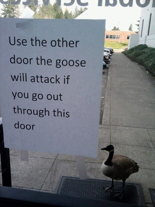 This totally misunderstood goose who got into one fight and now has to deal with the consequences: | 28 Animals Who Have Made A Huge Mistake: Giggle, Attack Goose, Funny Stuff, Funnies, Humor, By, Animal