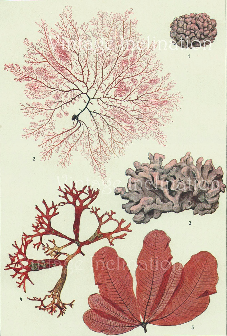 Vintage Botanical Print Antique 1900 SEAWEED: Botanical Illustration, Coral, Illustrations, Vintage Botanical Prints, Antique Botanical, Antiques, 1900 Seaweed