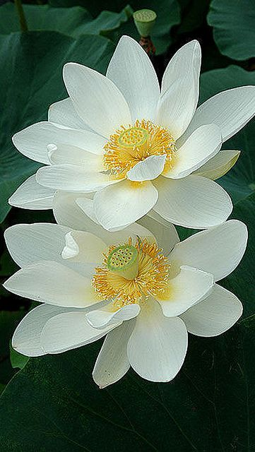 White-Lotus-iphone-5-wallpaper-wbix by glbtmatch, via Flickr: White Lotus, Lotus Flowers, Lotus Water, Waterlilies, Beautiful Flowers, Water Lily, Garden, Water Lilies, Flower