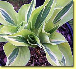 Yellow Polka Dot Bikini Hosta ..these are good if u are just starting to garden...can`t kill these....and come back every year...plant in a shady spot!!: Polka Dot Bikini, Shade Plant, Hostas Plant, Polka Dots, Bikini Hosta, Garden Can T Kill, Yellow Polk