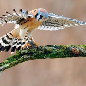 You can tell this American Kestel is female by the multiple stripes in its tail. Male kestrels have just one thick black stripe. Kestrel by Scott Linstead: Photos, Animals, L'Wren Scott, American Kestrel, Scott Linstead, Beautiful, Birds
