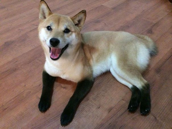 21 Animals Who Were Born With Unbelievable Fur Markings-  So adorable: Dogs, Shiba Inu, Adorable Animals, Pets, Socks, Funny, Chanel Boots, Black, Red Fox