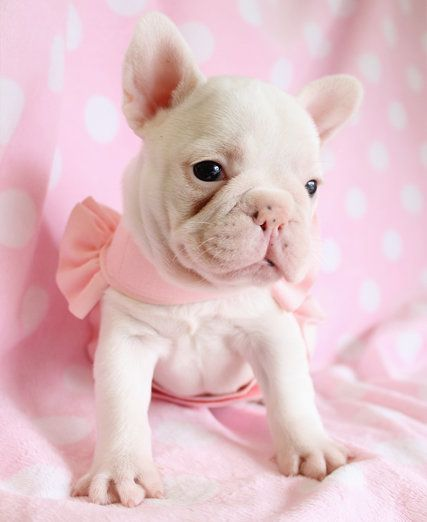 """a cute little puppy!"" ""He's like a piggy!"" I can't handle this!!!!!!!!!!!!!!!!!!!!!!!!!  Limited Edition French Bulldog Tee http://teespring.com/lovefrenchbulldogs: French Bull Dog, Animals, Sweet, French Bulldogs, Frenchbulldogs,"