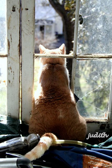 """Most cats when they are Out want to be In, and vice versa--often simultaneously."" --Carl Van Vechten: Cats, Leo S Lookout, Orange Cat, Leos, Kitty Kitty, Windows, Chat, Photo, Animal"