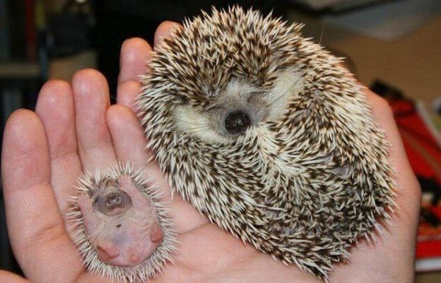 Adorable Photos of Animals and Their Mini-Me's - My Modern Metropolis: Babies, Cuteness, Stuff, Pets, Babyhedgehog, Adorable, Baby Hedgehogs, Baby Animals, Things