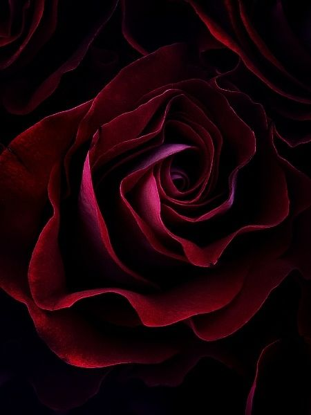 Amazing Burgundy Red Rose..........You Can Take This One To The Bank.................Another Pretty Shade of Red..........S.A.I.D.byF.A.T.-C.: Colour, Color, Red Roses, Pink, Beauty, Flowers, Garden, Beautiful Rose