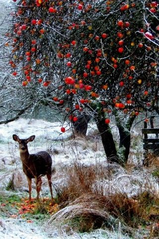 Another pinner wrote: We call them Deer Trees, old orchard or wild apple trees that have persistant fruit. In the early winter deer flock to these to supplement their diet befor the hard winter sets in.: Animals, Winter Scene, Nature, Snow, Winter Wonderl