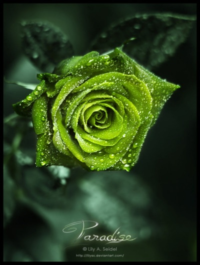 Apple green roses - may be my new favorite flower, living the monochromatic flower style! Pretty: Color Green, Beautiful Roses, Green Roses, Nature, Gorgeous Green, Beautiful Flowers, Green Flower, Garden