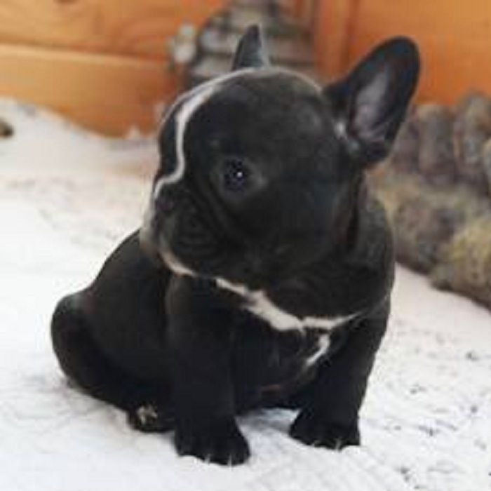 Baby Frenchie: French Bulldogs, Frenchbulldog, Frenchie S, French Bulldog Puppies, French Bull Dogs, Animal