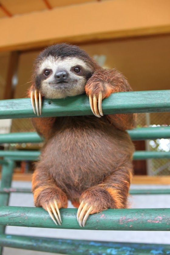 Baby sloth.. Nuff said: Baby Sloth, Sloths, Animals, So Cute, Creature, Pet, Babysloth, Funny, Things