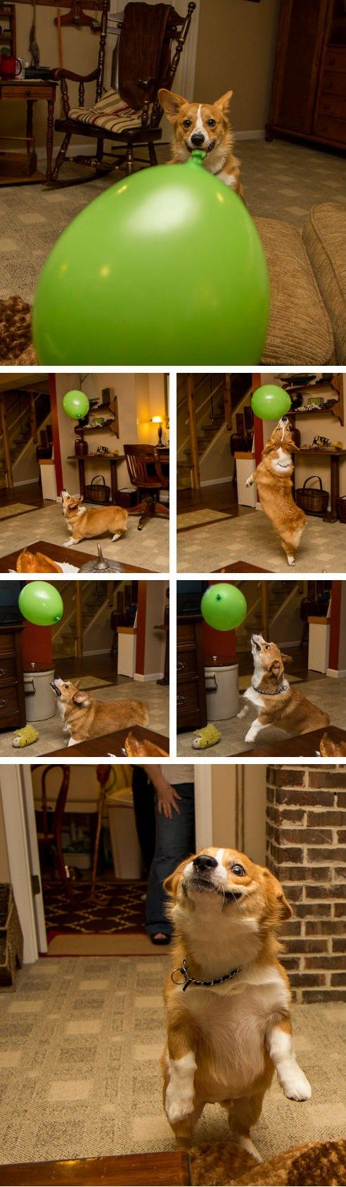 Corgi playing with a balloon!: Corgis, Corgi Cuteness, Dogs, Adorable Animals, Balloon Chasing Corgi, Corgi S, Puppy, Animals 3, Balloons