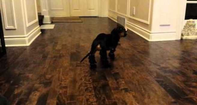CUTE DOG ALERT: Dachshund tries to walk in boots :) Now i want to get some for Chloe!: Dogs, Animal Videos, Wears Shoes, Walk, Watches, Dog Winston, Boots