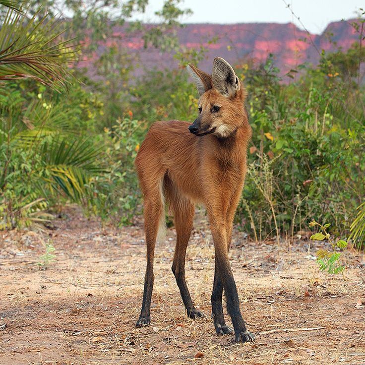 Despite its name, the maned wolf is not a wolf at all, nor is it a fox, coyote, or dog. It is the only member of the Chrysocyon genus, making it a truly unique animal, not closely related to any other living canid.: Chrysocyon Genus, Animals, South Americ