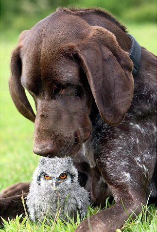 Four-week-old Cherub the baby White Faced Scops Owl has a furry guardian: Kiera a German Pointer.: Animals, Dogs, Baby Owl, Pet, Odd Couple, Pointer, Animal Friends, Owls