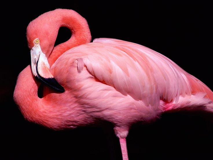 Gorgeous! Flamingos are soooo beautiful!! (remind me of Alice in Wonderland): Animals, Pink Flamingos, Color, Wallpapers, Pink Animal, Birds, Photo