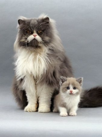 jane-burton-domestic-cat-blue-bicolour-persian-male-with-his-7-week-lilac-bicolour-kitten.jpg (338×450): Kitty Cats, Big Cats, Animals, Kitty Kitty, Kittens, Dog, Feline, Baby Cat