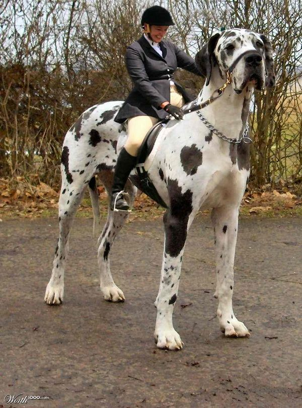 Largest Mastiff Breed | ... dog the great dane dog by the name of george is the tallest largest: Whosepetshop Whosepet, Tallest Dog, Big Dogs Breeds, Great Dane Dogs, Animals Dogs, Biggest Dogs Breeds, Biggest Dog In The World