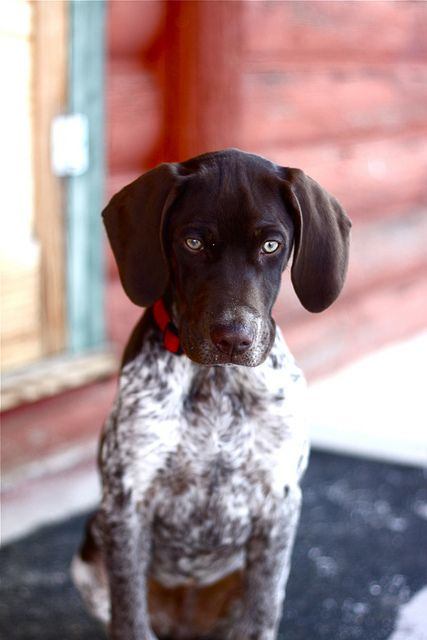 looking curious: Shorthaired Pointers, Shorthair Pointer, Dogs, German Shorthaired Pointer, Puppy, Gsp, Animal