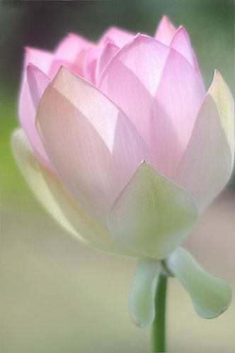 Lotus Flower - Lotus flowers look like they're made out of thin paper.: Flor De, De Lotus, Tropical Flower, Lotus Flowers, Flowers Plants, Art, Beautiful Flowers, Flowers Garden