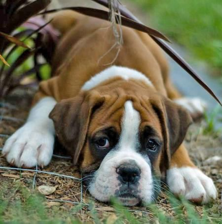 Love the squishy face: Animals, Boxer Dogs, Boxer Puppies, Puppys, Boxers, Baby, Boxerpuppies