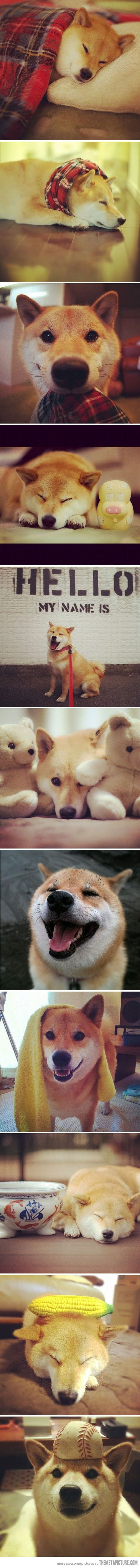Meet Maru Taro, the most popular dog on Instagram: Shiba Inu, Dogs, Most Popular, Meet Maru, Maru Taro, Popular Dog, Animal
