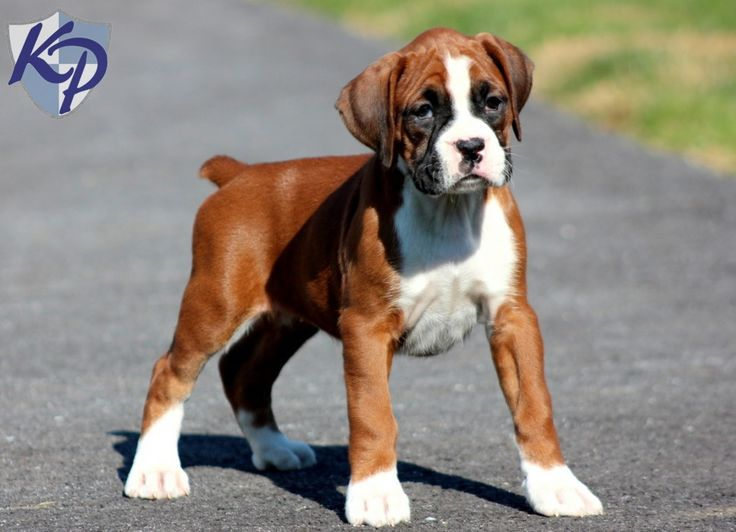 Mitsy – Boxer Puppy www.keystonepuppies.com  #keystonepuppies  #boxerpuppy: Boxers Rottweilers, Doggie, Boxers Dogs, Boxerdogs, Pretty Baby, Boxers ️, Socute