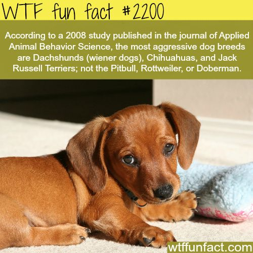 Most aggressive dogs - Being a Veterinary Technician & Dog Trainer I can verify that this is true!!: Jack Russell, Dachshund, Doxie, Weenie, Pit Bull, Chihuahua