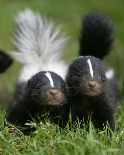 OMG, Baby Skunks! #animals #cute #babies: Babies, God S Creatures, Cuteness, Critters, Baby Skunks, Pets, Adorable, Baby Animals