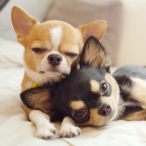Omg! They are so darn cute!! Stop it!!!: Detailed Cost, Animals, Dogs, Chihuahuas, Sweet, Pet, Chichi