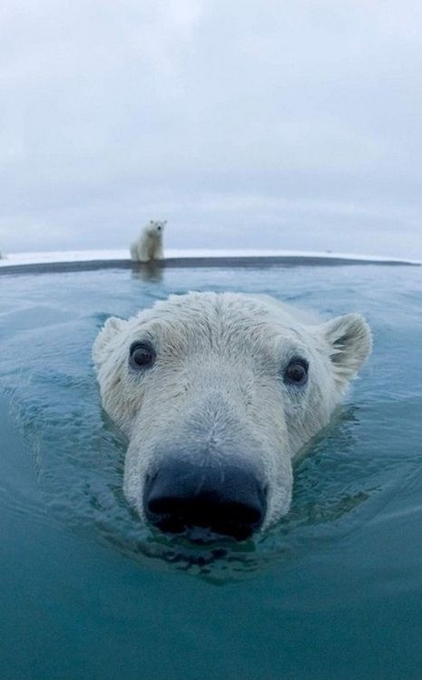 Out for a dip: Picture, Animals, Polar Bears, Animal Kingdom, Creatures, Things, Polarbears, Photo, Close Up