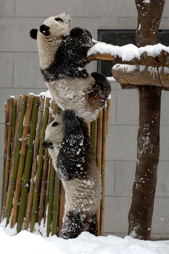 Panda helping panda: Animals, Teamwork, Friends, Funny, Pandas, Helping Hands, Team Work, Panda Bears