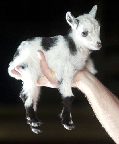 Pocket goat. >> so sweet!: Farm, Animals, Tiny Goat, Pigmy Goat, Pet, Mini Goat, Pygmy Goats, Baby Animal, Baby Goats