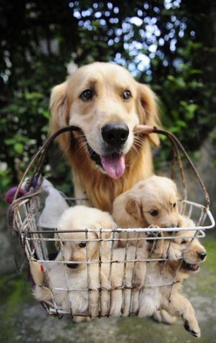 Puppies in a basket anyone? - I'd be so happy to have this delivered to me: Animals, Dogs, Golden Retrievers, Pet, Puppys, Baskets, Baby, Friend, Golden Retriever