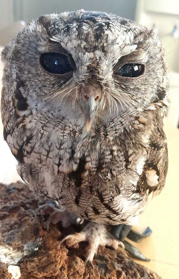 Rescued Blind Owl 'Zeus' Has Stars in His Eyes (8 pictures): Animals, Learning Centers, Meet Zeus, Screech Owl, Rescued Blind Owl Zeus 1, Owls, Eyes