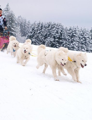 Samoyeds love to pull, whether it be a leash, a sled or your heart-strings. ❤ Lynelle Mattson: Sled Dogs, Samoyeds Sled, Samoyeds Puppy, Samoyed Dogs, Baby Dogs, Dogsled Puppies, Childhood Dogs